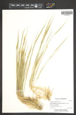 Aegilops cylindrica image