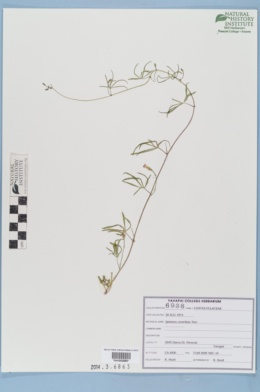Ipomoea costellata image