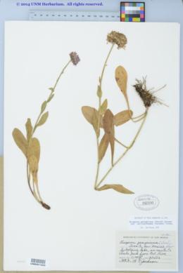 Erigeron peregrinus var. callianthemus image