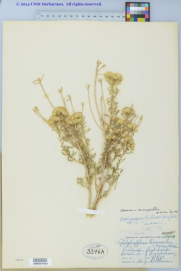 Image of Isocoma coronopifolia