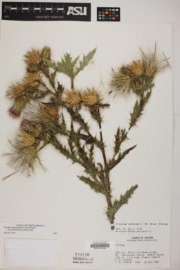 Cirsium arizonicum var. rothrockii image