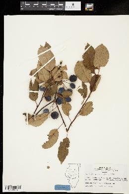 Image of Malus x purpurea