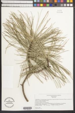 Image of Pinus koraiensis
