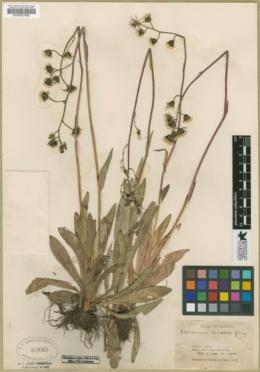 Hieracium fendleri image