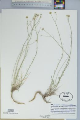 Erigeron sparsifolius image