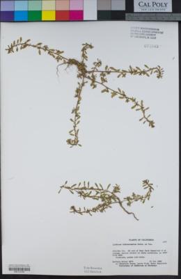 Lythrum tribracteatum image
