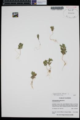 Oxybasis rubra image