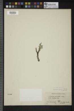 Oxytropis oreophila image