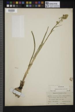 Zigadenus paniculatus image