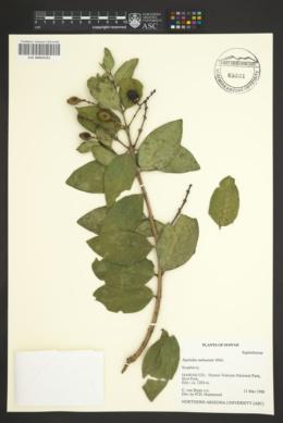 Image of Sapindus oahuensis