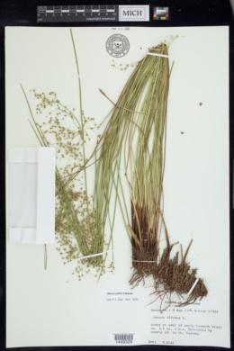 Juncus pylaei image