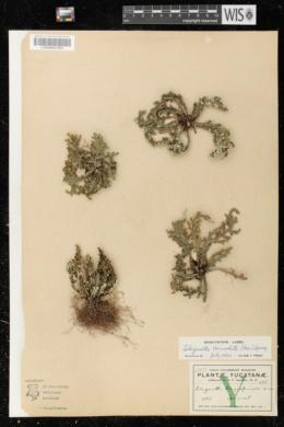 Image of Selaginella convoluta