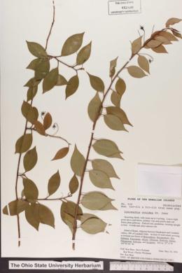 Image of Lysimachia ovoidea