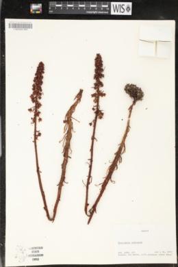 Pterospora andromedea image