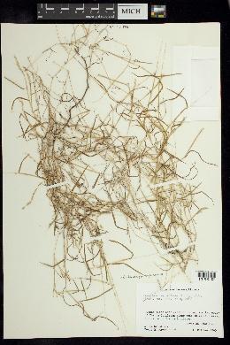 Image of Pereilema beyrichianum