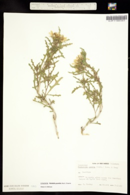 Image of Mentzelia pumila