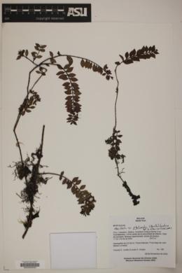Myrteola phylicoides image