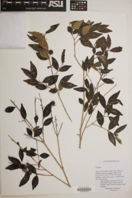 Eugenia oerstediana image