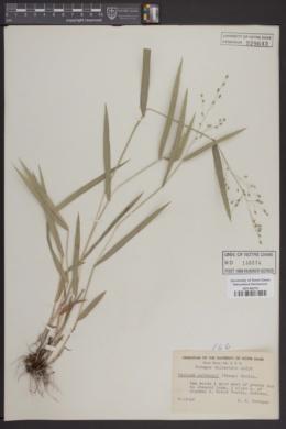 Image of Panicum leibergii