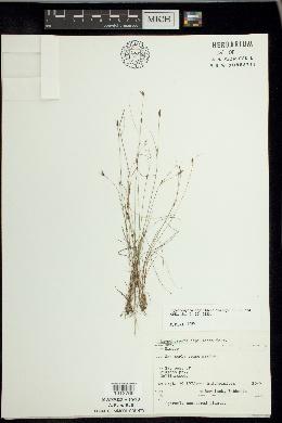 Rhynchospora capillacea image