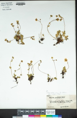 Image of Potentilla grayi