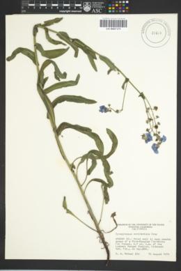 Image of Cynoglossum occidentale