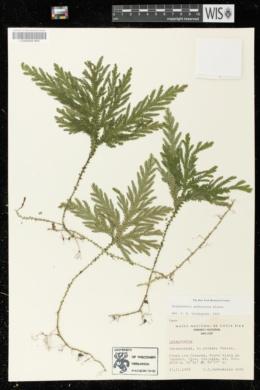Image of Selaginella arthritica