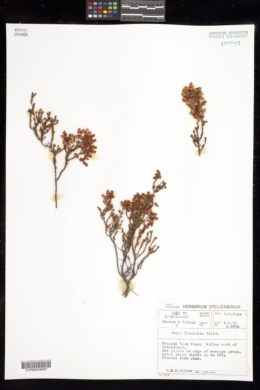 Image of Erica lateralis