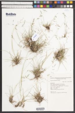 Image of Eragrostis benthamii