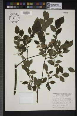Image of Salix starkeana
