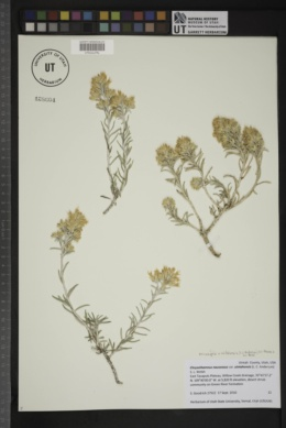 Image of Ericameria x uintahensis