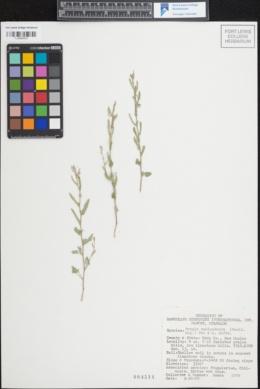 Image of Tragia amblyodonta