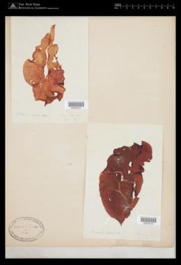 Schizymenia dubyi image