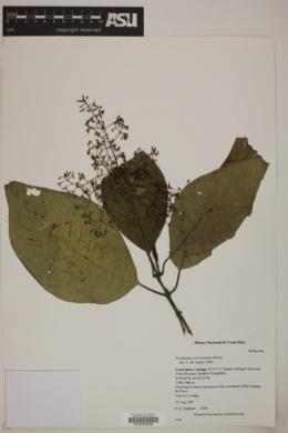 Image of Palicourea montensis