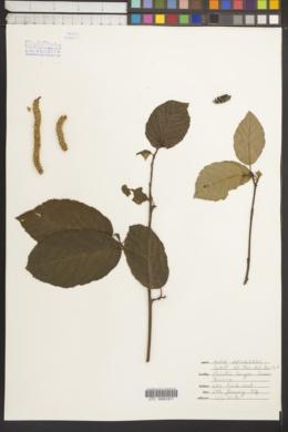Image of Alnus jorullensis