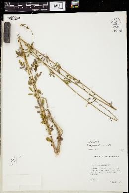 Chapmannia floridana image