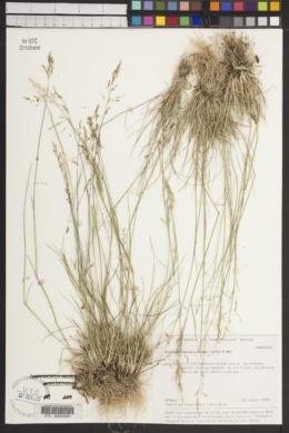 Image of Puccinellia tenuifolia