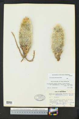 Image of Escobaria albicolumnaria