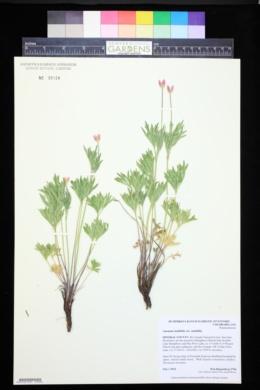 Anemone multifida var. multifida image