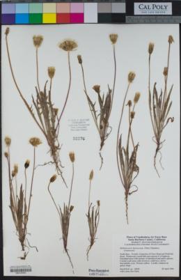 Stebbinsoseris heterocarpa image