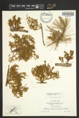 Arceuthobium apachecum image