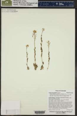 Draba spectabilis image