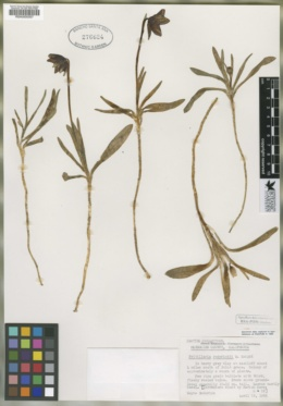 Fritillaria grayana image