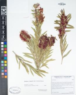 Image of Melaleuca viminalis
