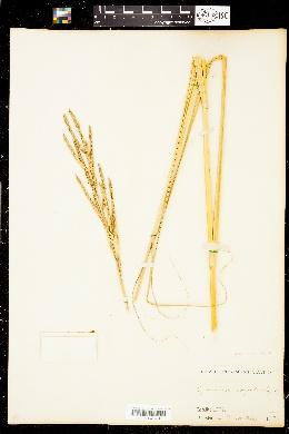 Image of Spartina cynosuroides