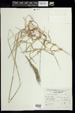 Chaetium bromoides image