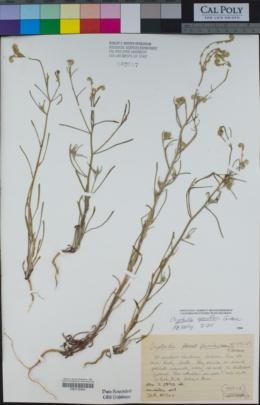 Cryptantha sparsiflora image