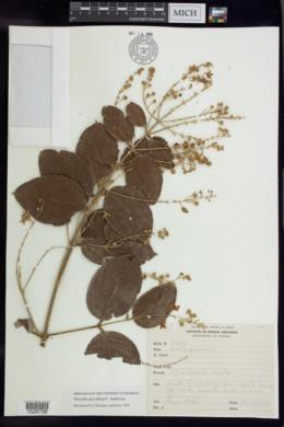 Image of Thryallis parviflora