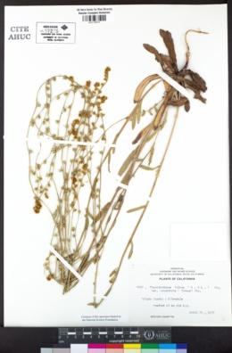Plagiobothrys fulvus image