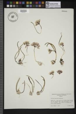 Image of Allium punctum